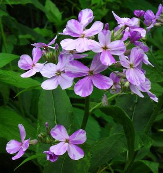 HESPERIS%20MATRONALIS- mother of the evening