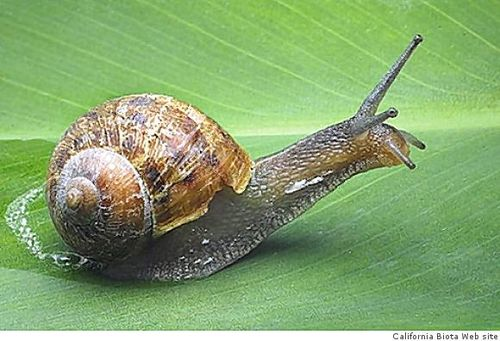 Snail by california biota web siite