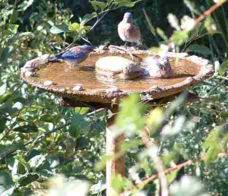 Western_bluebird_birdbath_2