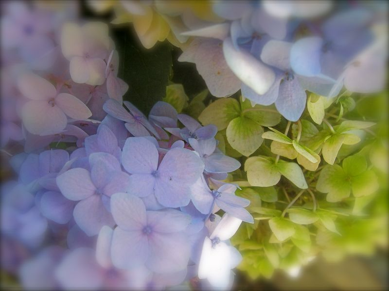 Hydrangeas blue & green