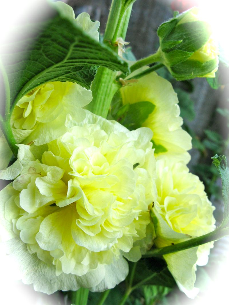 Hollyhock double yellow cluster
