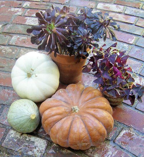 Black leaved plants & Pumpkins