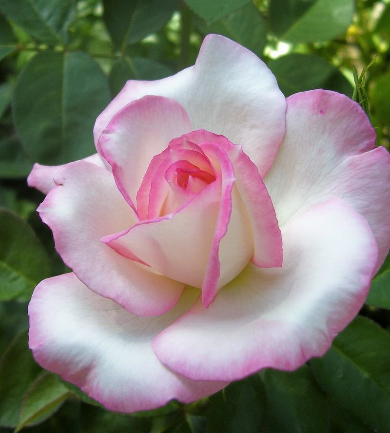 Secrete rose -organically