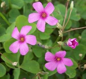 3Oxalis pink