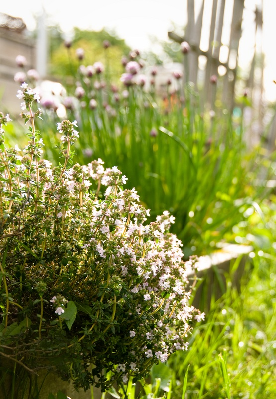 Dreamstime thyme in sunny garden