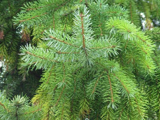 pine bouhg