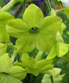 Nicotiana_lime_green_2
