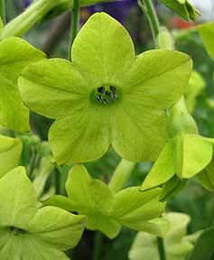 Nicotiana_lime_green_2