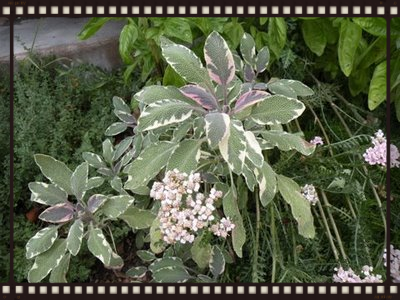Tri color sage sweet basil & yarrow