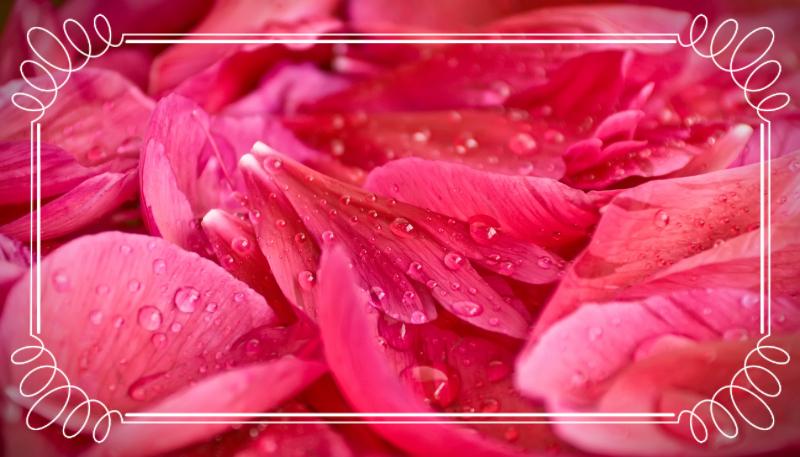 Rose petals up close