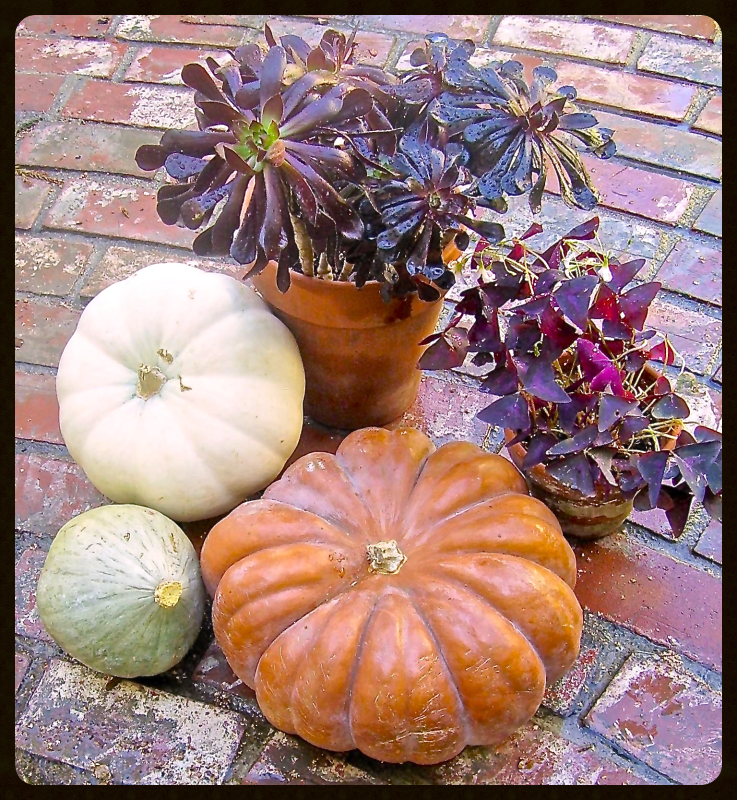 Black leaved plants & Pumpkins 2
