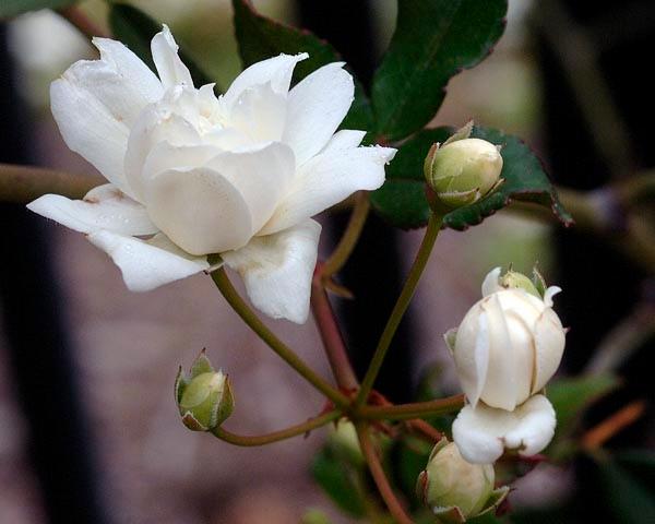 Sm23- Laldy banksia, flower closeup